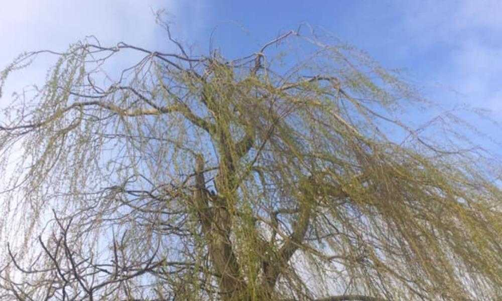 Northwich Tree Surgery Tree Reductions and Thinning
